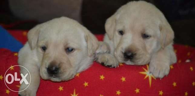 imported labrador puppies for sale