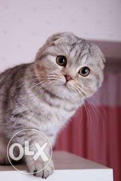 Scottish fold kittens راس  بيروت -  2
