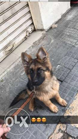 Female german shepard