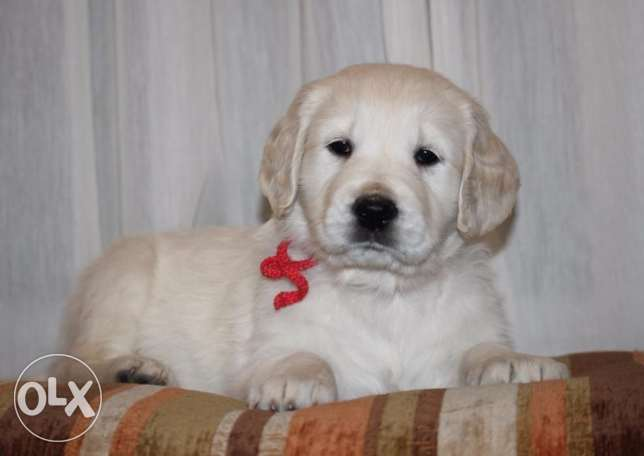 Imported Champion Blood Golden Retriever + offer in description طبرجا -  5