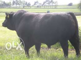 Buy bulls and holstein heifers at good price