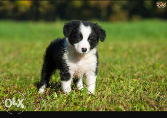 border collie puppies (smartest breed in the world)