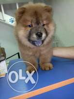Chowchow female puppy