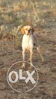 Male pointer for sale