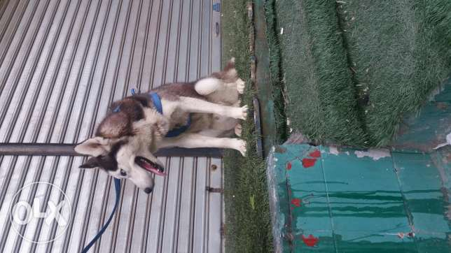 male husky for sale or trade 8 month king size