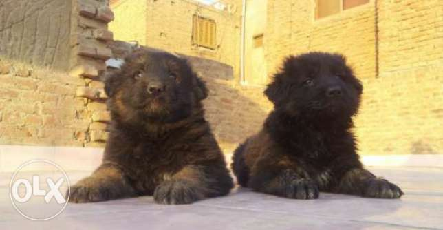 imported german puppies for sale