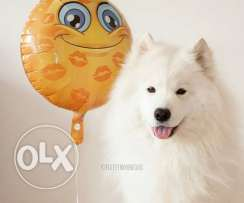 samoyed dog pure breed only for (750$)