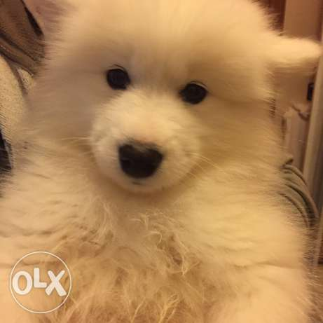 Puppies Samoyed حارة حريك -  2