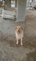 Need a female golden retriever for mating