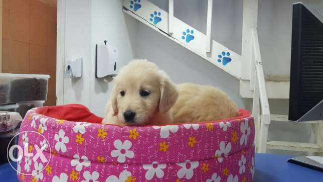Golden retriever puppies المرفأ -  2