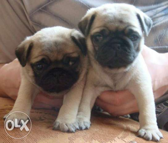 Imported Pug puppies طبرجا -  1