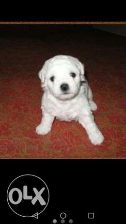 Bichon dog for sale