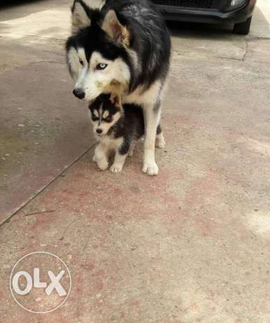 Husky for sale 63 days old