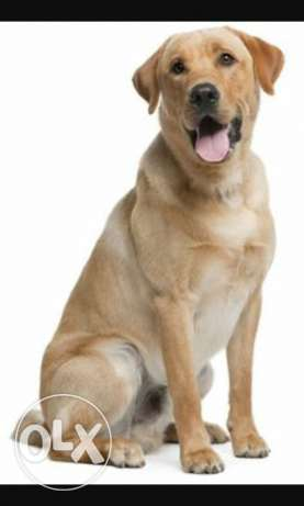 labrador golden retriever ذوق مكايل -  2