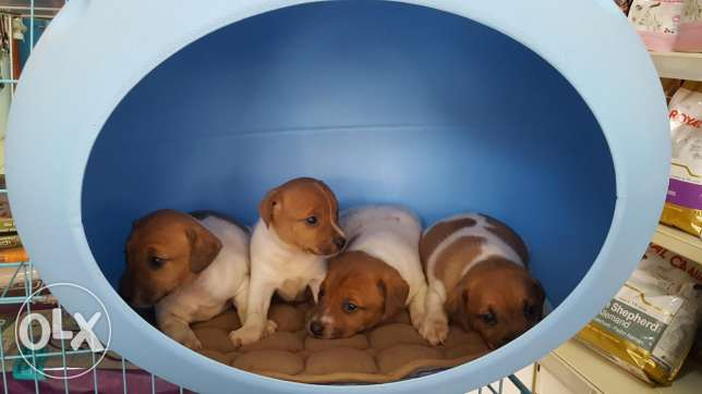 Jack russel puppies small size