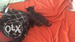 black cat male for adoption
