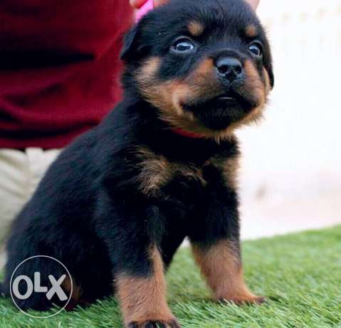 rottweiler for sale best breed for only 450$