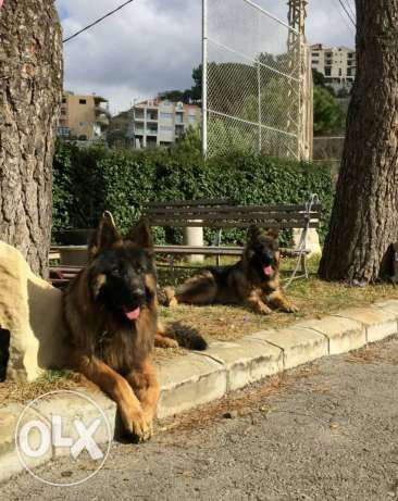 For sale 2 males 1 female long hair king size german sheperd show line