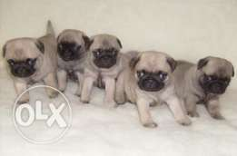 Imported Pug puppies