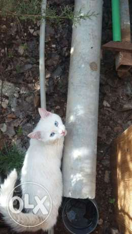 Cats for sale angora