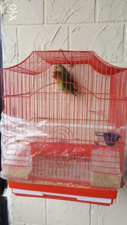 Red headed lovebird جوز رماج