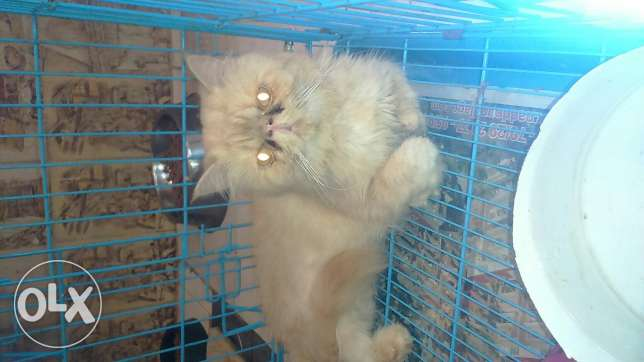 Cats for sale persian pure males and females 3omre 4 5 6 7 months كسروان -  3