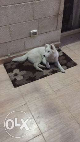 husky female 6 months old full vaccinated