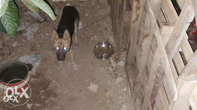 Malinois female for trade or sale بعبدا -  2