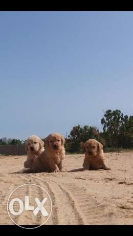 best imported golden ret. pupps for sale