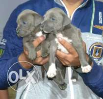 American pitbull blue for sale