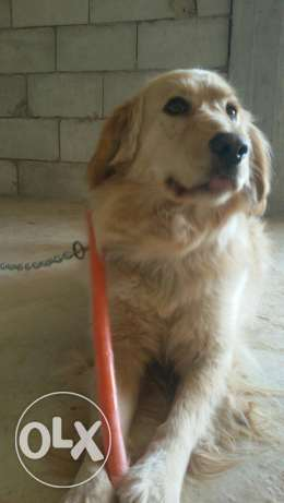 Male golden retriever