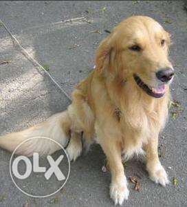 Bade jawez kalbe la enteye golden retriever mating