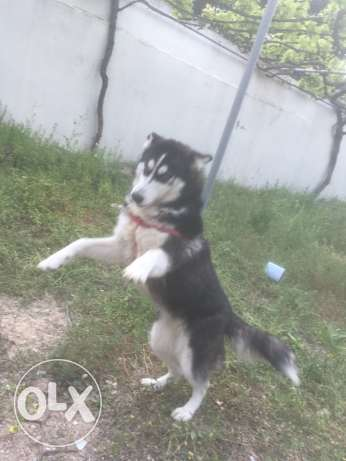 pure husky breed 7 month old with passport