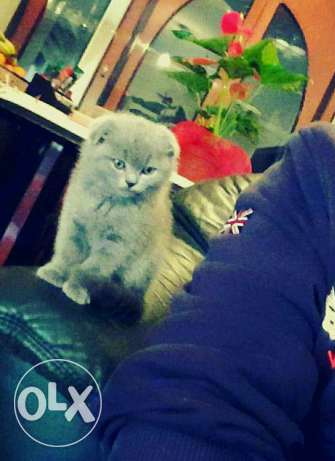 Scottish Fold Kittens المرفأ -  1