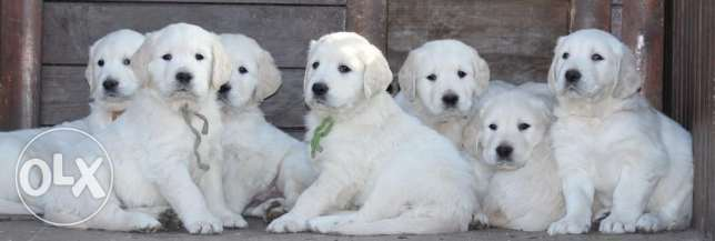 Imported Champion Blood Golden Retriever + offer in description طبرجا -  1