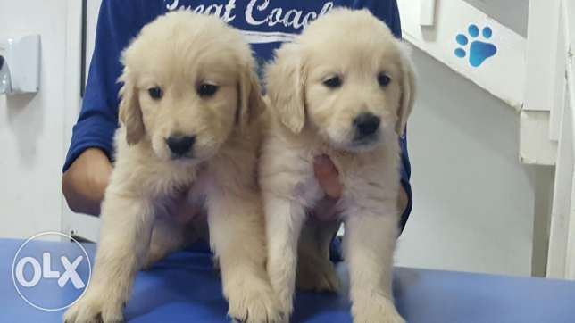 Golden retriever puppies المرفأ -  1