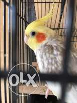 DNA tested male cockatiel