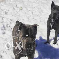 Top bloodline Cane Corso puppies for sale
