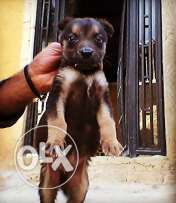 Gsd male puppy-400 $