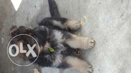 German sheperd puppies 2 males & 1 female