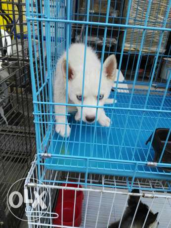 Siberian husky puppies 2 month special offer المرفأ -  5