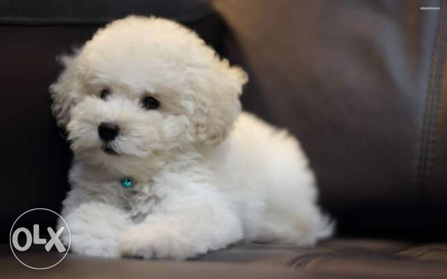 Bichon puppies المرفأ -  2