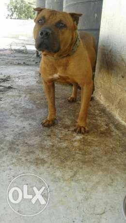 Pitbull ( boyka) very strong dog خلدة -  2