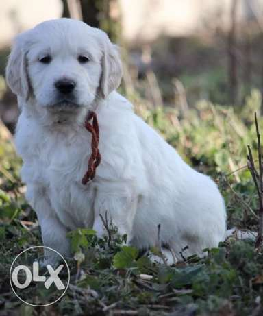 Imported Champion Blood Golden Retriever + offer in description طبرجا -  4