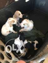 pointer puppies for sale