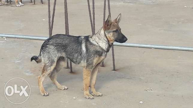 GSD male 4 month