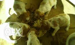 Puppies for sale epaniol
