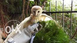 Barn Owl 3 months for Sale
