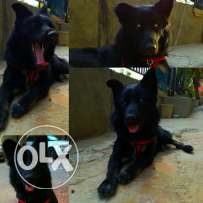 Dog Black German Sheperd FOR SALE!