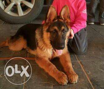 gsd females puppies,45 days old